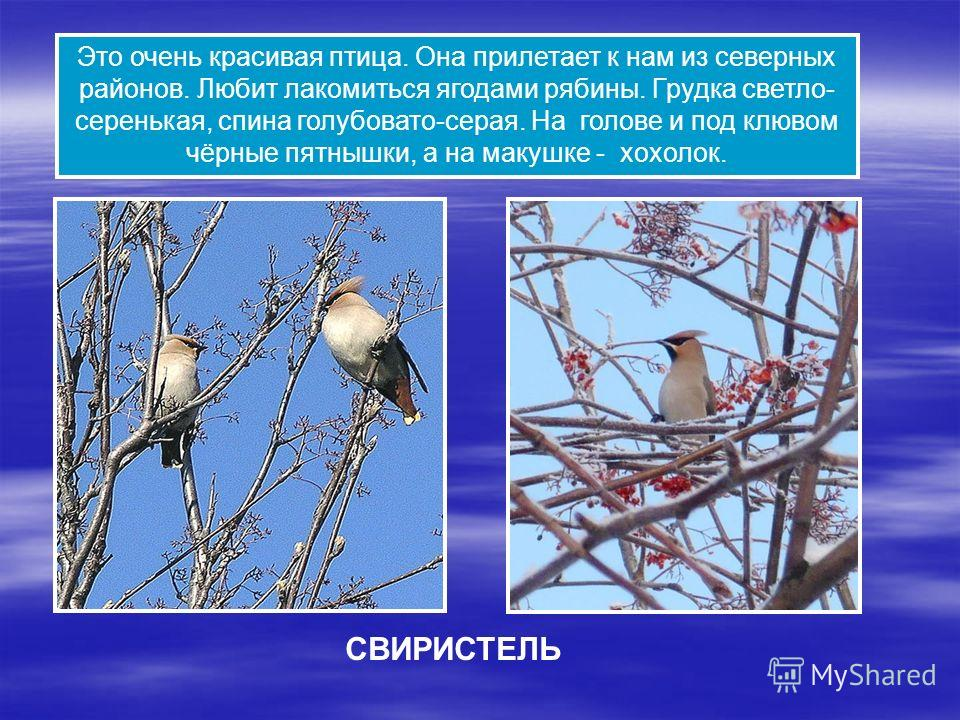 Это очень красивая птица. Она прилетает к нам из северных районов. Любит лакомиться ягодами рябины. Грудка светло- серенькая, спина голубовато-серая. На голове и под клювом чёрные пятнышки, а на макушке - хохолок. СВИРИСТЕЛЬ