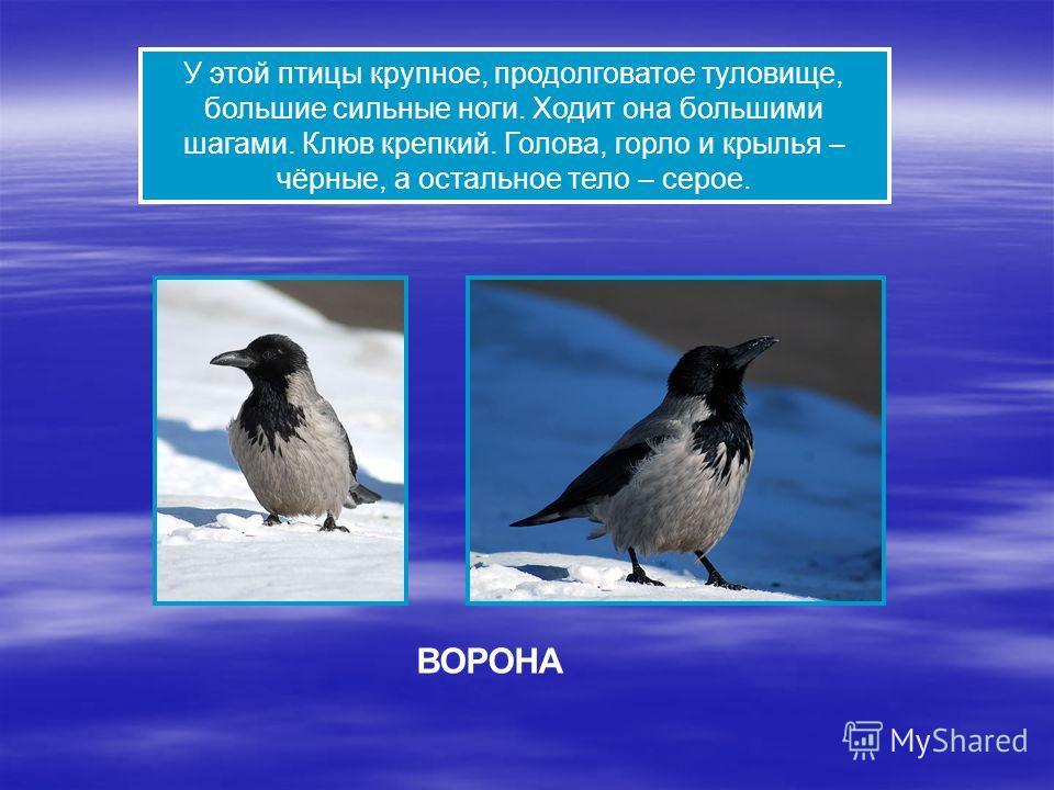 У этой птицы крупное, продолговатое туловище, большие сильные ноги. Ходит она большими шагами. Клюв крепкий. Голова, горло и крылья – чёрные, а остальное тело – серое. ВОРОНА