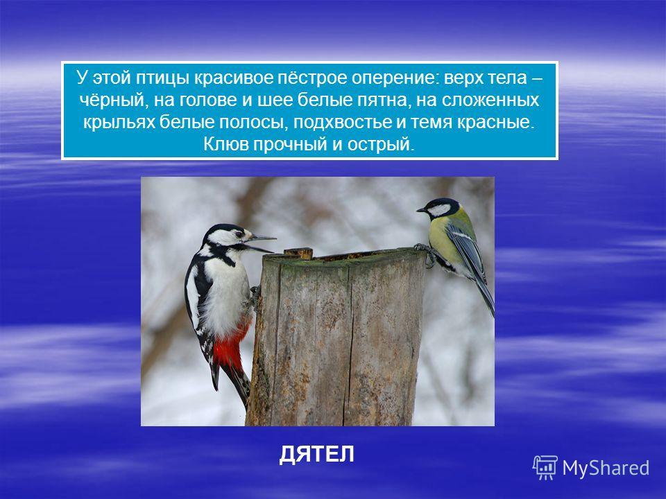 У этой птицы красивое пёстрое оперение: верх тела – чёрный, на голове и шее белые пятна, на сложенных крыльях белые полосы, подхвостье и темя красные. Клюв прочный и острый. ДЯТЕЛ