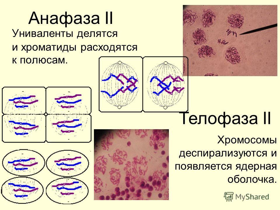 Анафаза II Униваленты делятся и хроматиды расходятся к полюсам. Телофаза II Хромосомы деспирализуются и появляется ядерная оболочка.