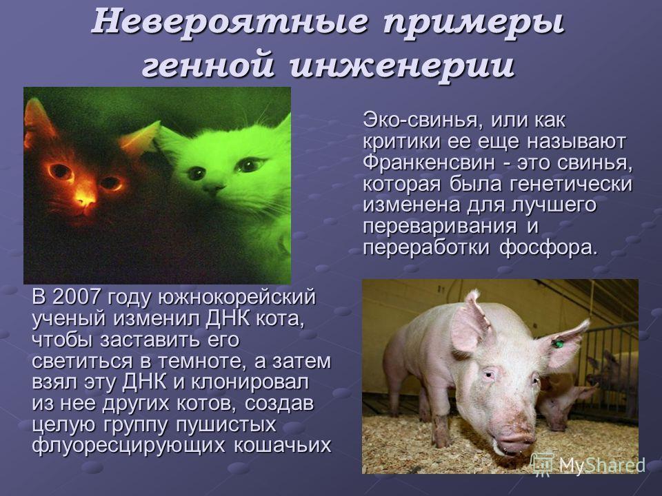 Невероятные примеры генной инженерии В 2007 году южнокорейский ученый изменил ДНК кота, чтобы заставить его светиться в темноте, а затем взял эту ДНК и клонировал из нее других котов, создав целую группу пушистых флуоресцирующих кошачьих Эко-свинья,