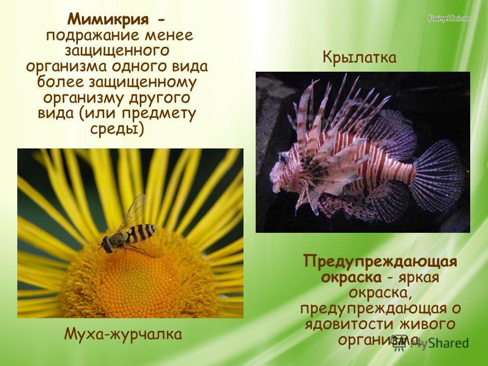 Мимикрия - подражание менее защищенного организма одного вида более защищенному организму другого вида (или предмету среды) Предупреждающая окраска - яркая окраска, предупреждающая о ядовитости живого организма. Муха-журчалка Крылатка