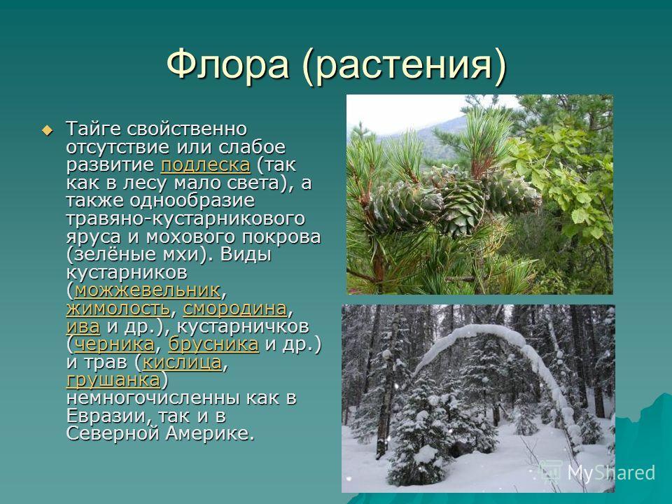 Флора (растения) Тайге свойственно отсутствие или слабое развитие подлеска (так как в лесу мало света), а также однообразие травяно-кустарникового яруса и мохового покрова (зелёные мхи). Виды кустарников (можжевельник, жимолость, смородина, ива и др.