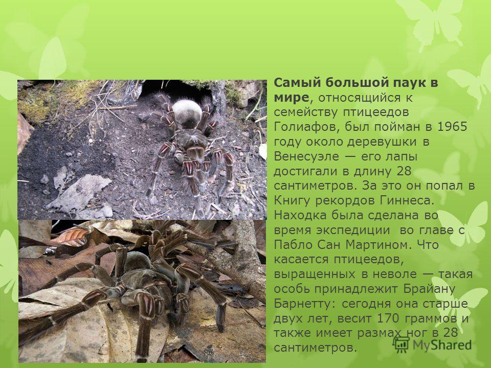 Редкие пауки-птицееды впервые размножились вневоле
