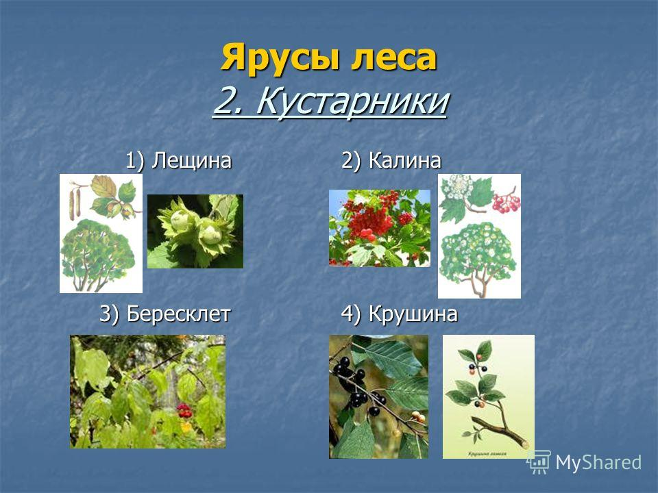 Ярусы леса 2. Кустарники 1) Лещина 2) Калина 3) Бересклет 4) Крушина
