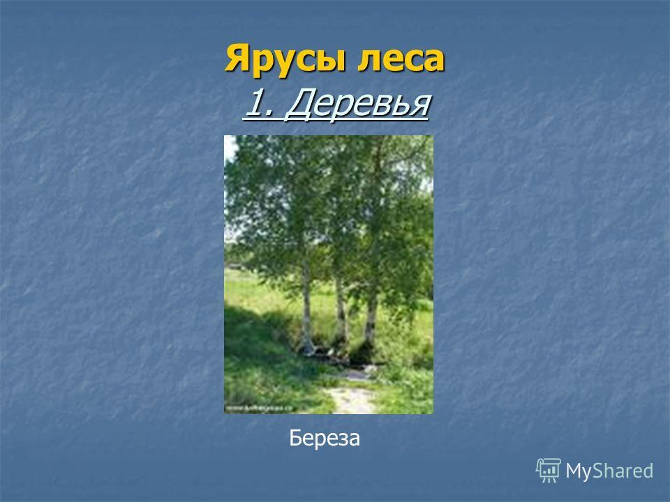 Ярусы леса 1. Деревья Береза
