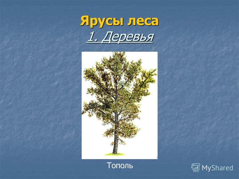 Ярусы леса 1. Деревья Тополь