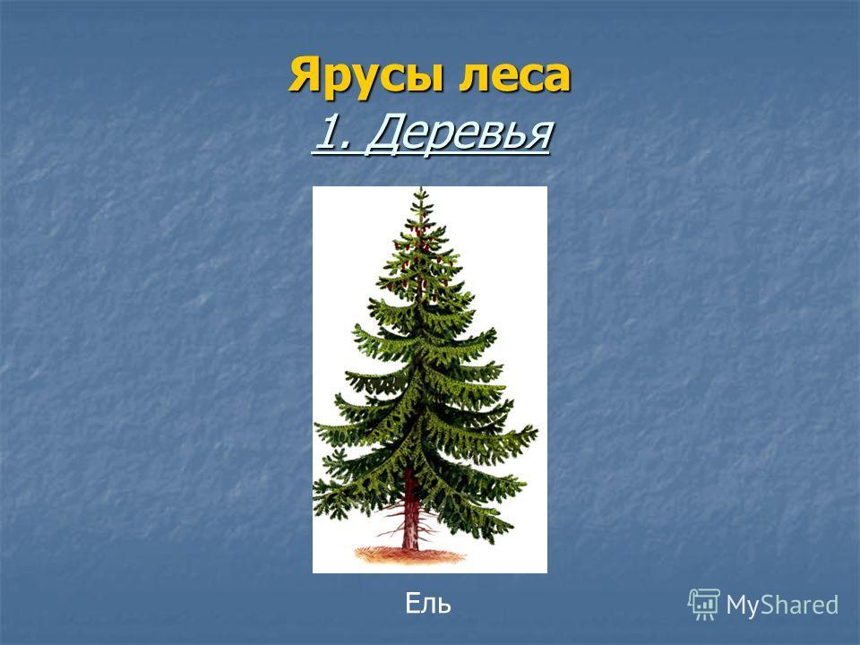 Ярусы леса 1. Деревья Ель