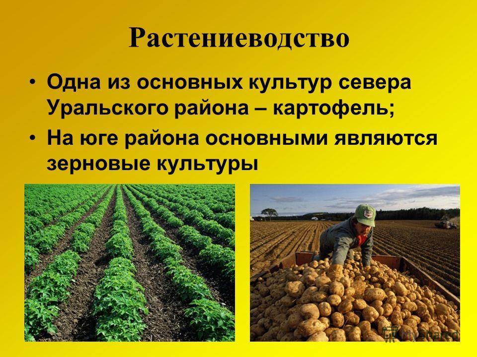Растениеводство Одна из основных культур севера Уральского района – картофель; На юге района основными являются зерновые культуры