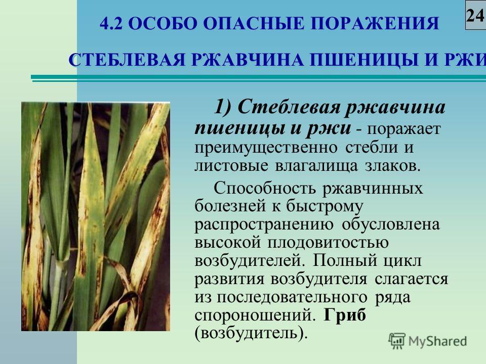4.2 ОСОБО ОПАСНЫЕ ПОРАЖЕНИЯ СТЕБЛЕВАЯ РЖАВЧИНА ПШЕНИЦЫ И РЖИ 1) Стеблевая ржавчина пшеницы и ржи - поражает преимущественно стебли и листовые влагалища злаков. Способность ржавчинных болезней к быстрому распространению обусловлена высокой плодовитост