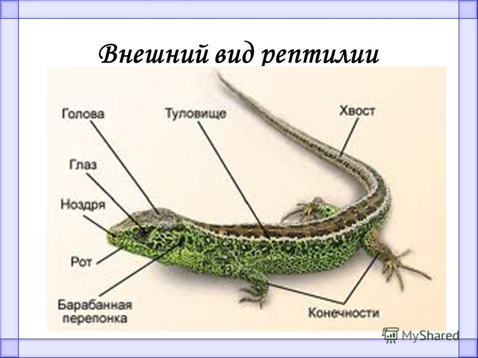 Внешний вид рептилии