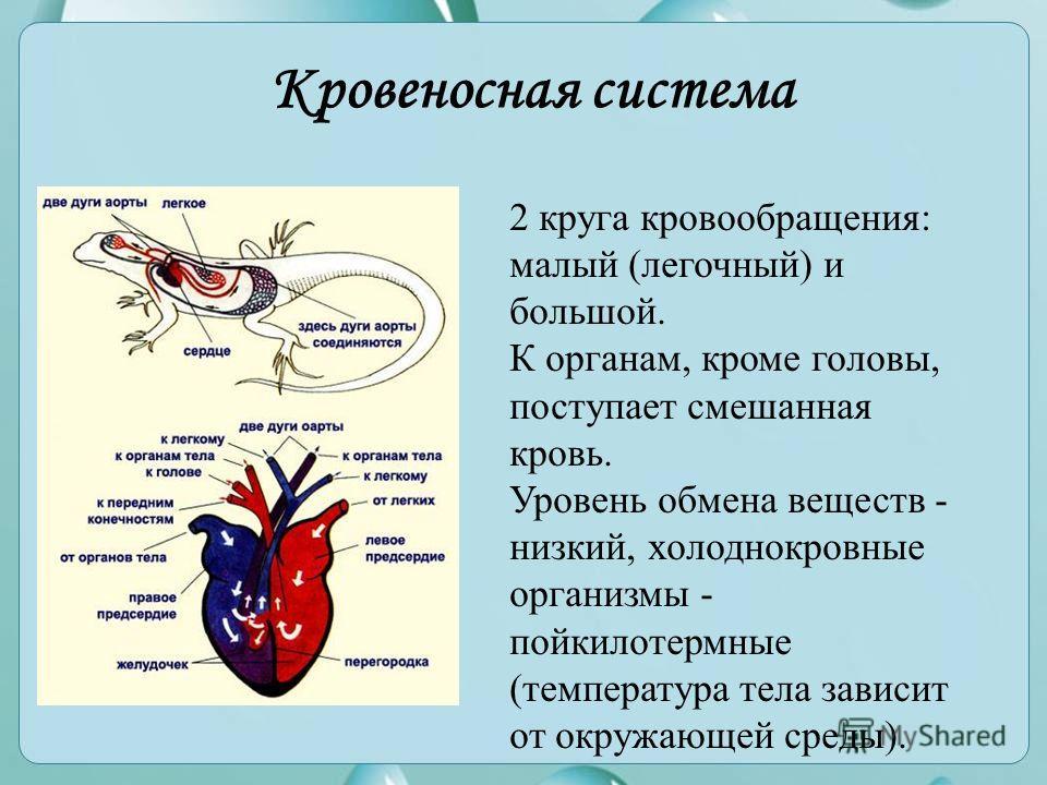 Кровеносная система 2 круга кровообращения: малый (легочный) и большой. К органам, кроме головы, поступает смешанная кровь. Уровень обмена веществ - низкий, холоднокровные организмы - пойкилотермные (температура тела зависит от окружающей среды).