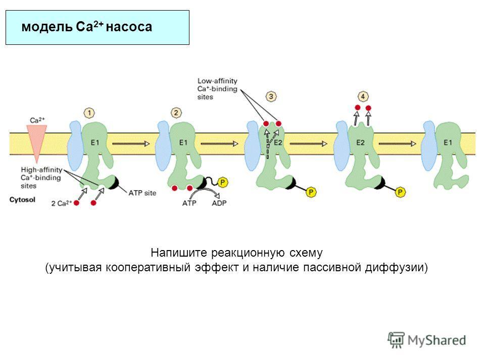 модель Ca 2+ насоса Напишите реакционную схему (учитывая кооперативный эффект и наличие пассивной диффузии)