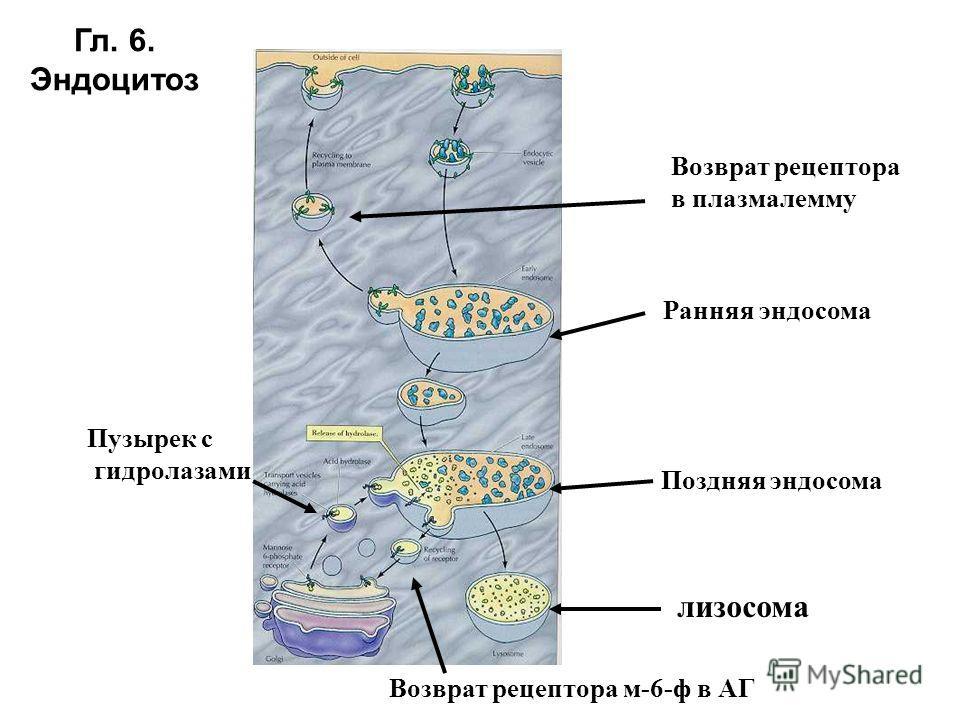 Гл. 6. Эндоцитоз Ранняя эндосома Пузырек с гидролазами Поздняя эндосома лизосома Возврат рецептора в плазмалемму Возврат рецептора м-6-ф в АГ