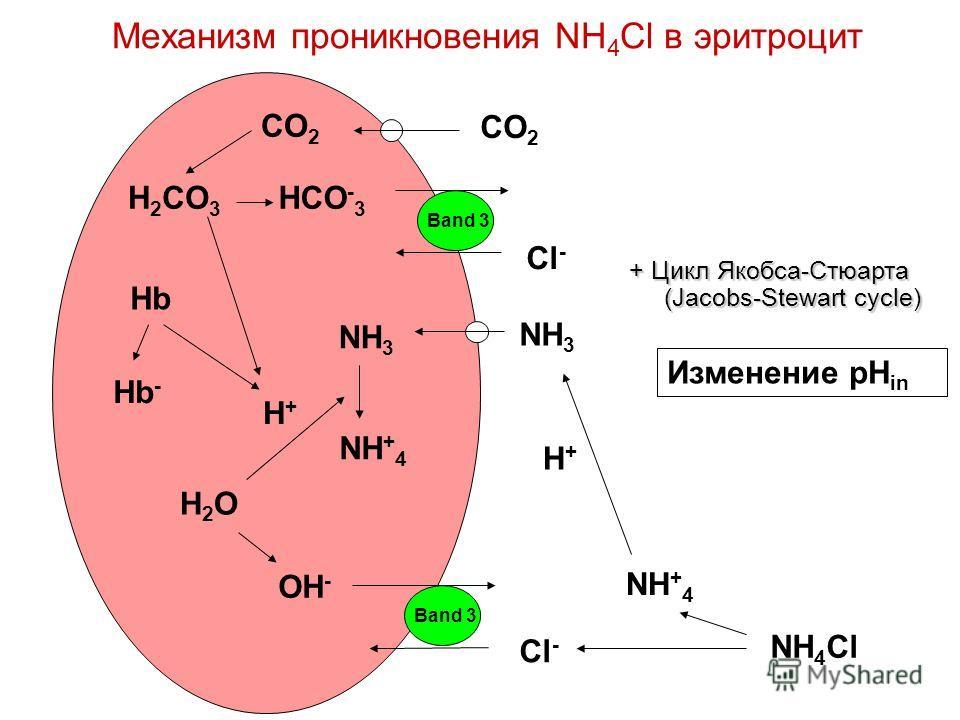 Механизм проникновения NH 4 Cl в эритроцит NH 3 H+H+ NH + 4 Cl - NH 3 NH + 4 H+H+ OH - H2OH2O Band 3 NH 4 Cl Hb Hb - Band 3 HCO - 3 Cl - CO 2 H 2 CO 3 Изменение pH in + Цикл Якобса-Стюарта (Jacobs-Stewart cycle)