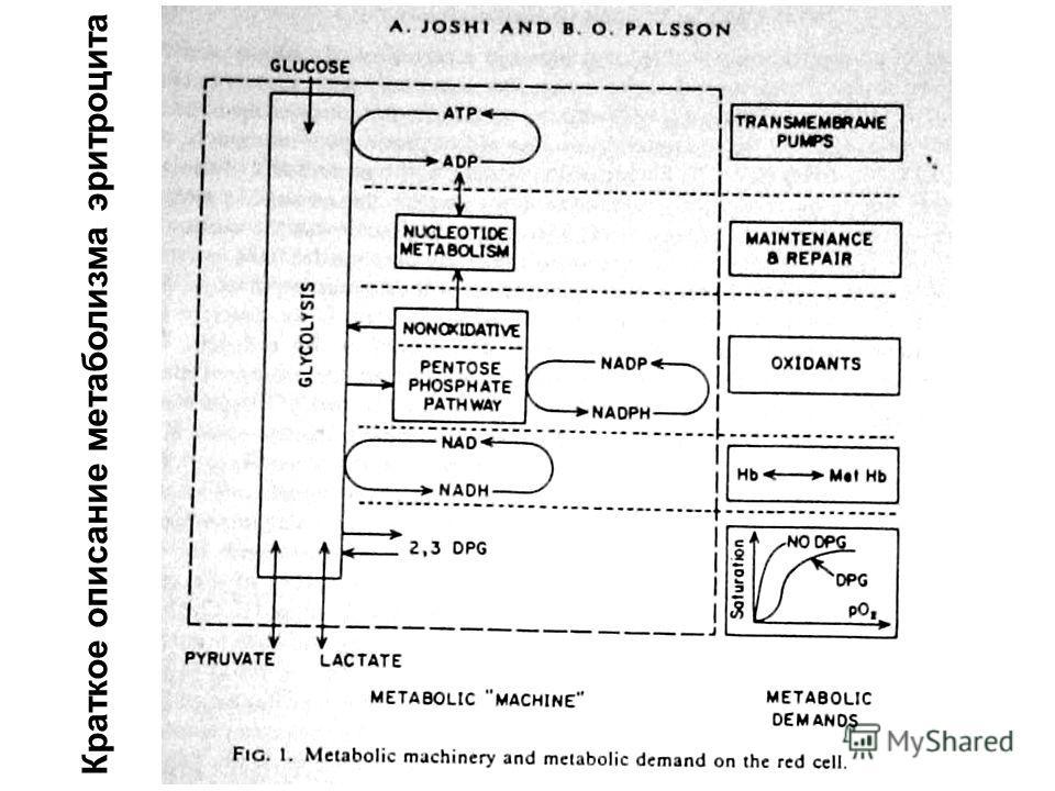 Краткое описание метаболизма эритроцита