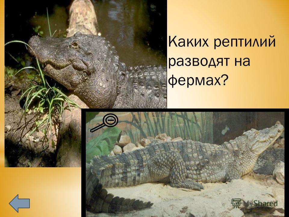 Каких рептилий разводят на фермах? Вид крокодил нильский. Наиболее известный вид крокодилов. Серый или светло-коричневый с тёмными полосами на спине и хвосте. С возрастом окраска темнеет и полосы становятся малозаметными. Живот имеет жёлтый оттенок.