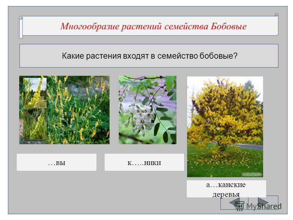 Какие растения входят в семейство бобовые? Многообразие …..ний …..ства …овые Многообразие растений семейства Бобовые …вык…..ники а…канские деревья