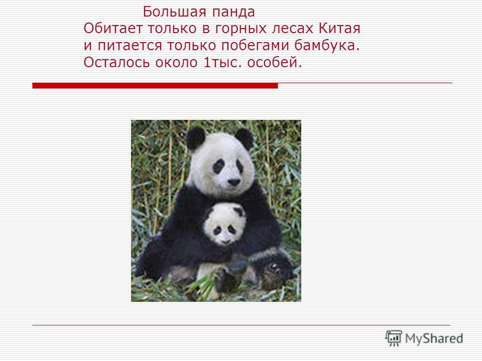 Большая панда Обитает только в горных лесах Китая и питается только побегами бамбука. Осталось около 1тыс. особей.