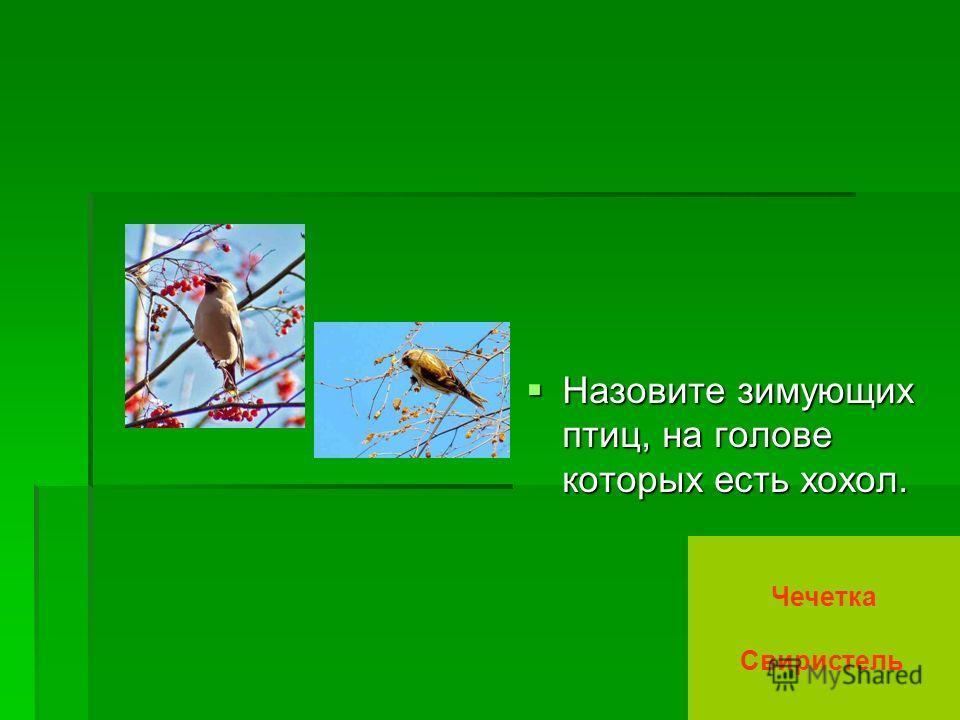 Назовите зимующих птиц, на голове которых есть хохол. Назовите зимующих птиц, на голове которых есть хохол. Чечетка Свиристель