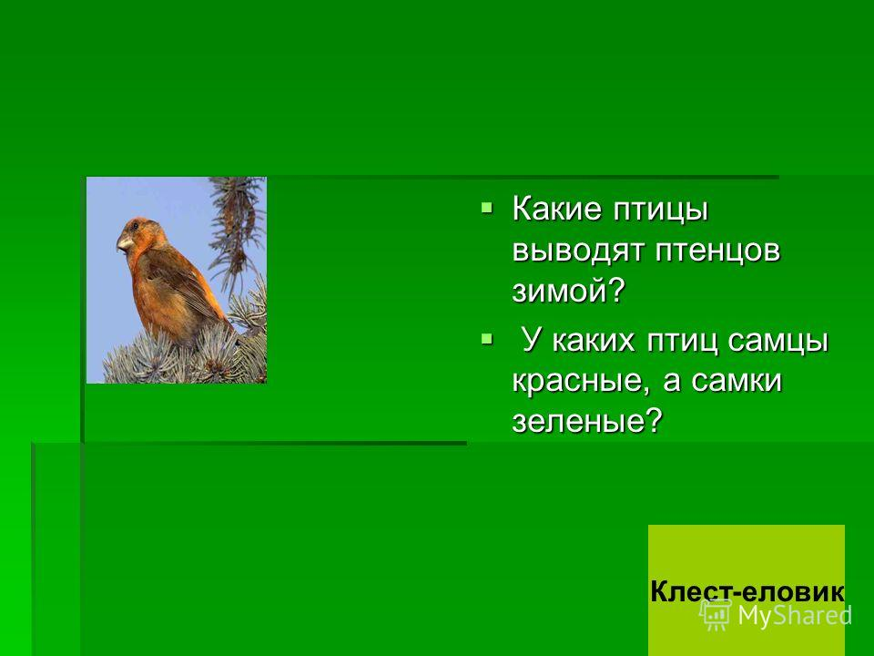 Какие птицы выводят птенцов зимой? Какие птицы выводят птенцов зимой? У каких птиц самцы красные, а самки зеленые? У каких птиц самцы красные, а самки зеленые? Клест-еловик