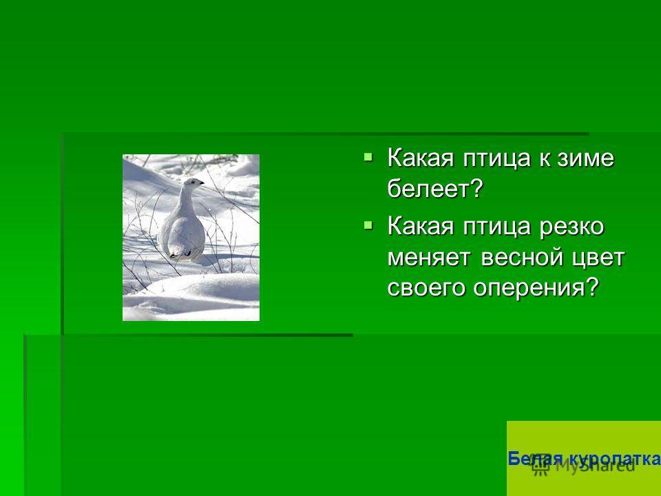 Какая птица к зиме белеет? Какая птица к зиме белеет? Какая птица резко меняет весной цвет своего оперения? Какая птица резко меняет весной цвет своего оперения? Белая куропатка