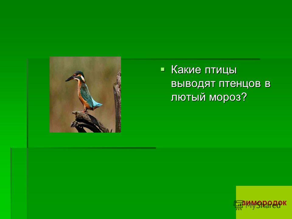 Какие птицы выводят птенцов в лютый мороз? Какие птицы выводят птенцов в лютый мороз? зимородок
