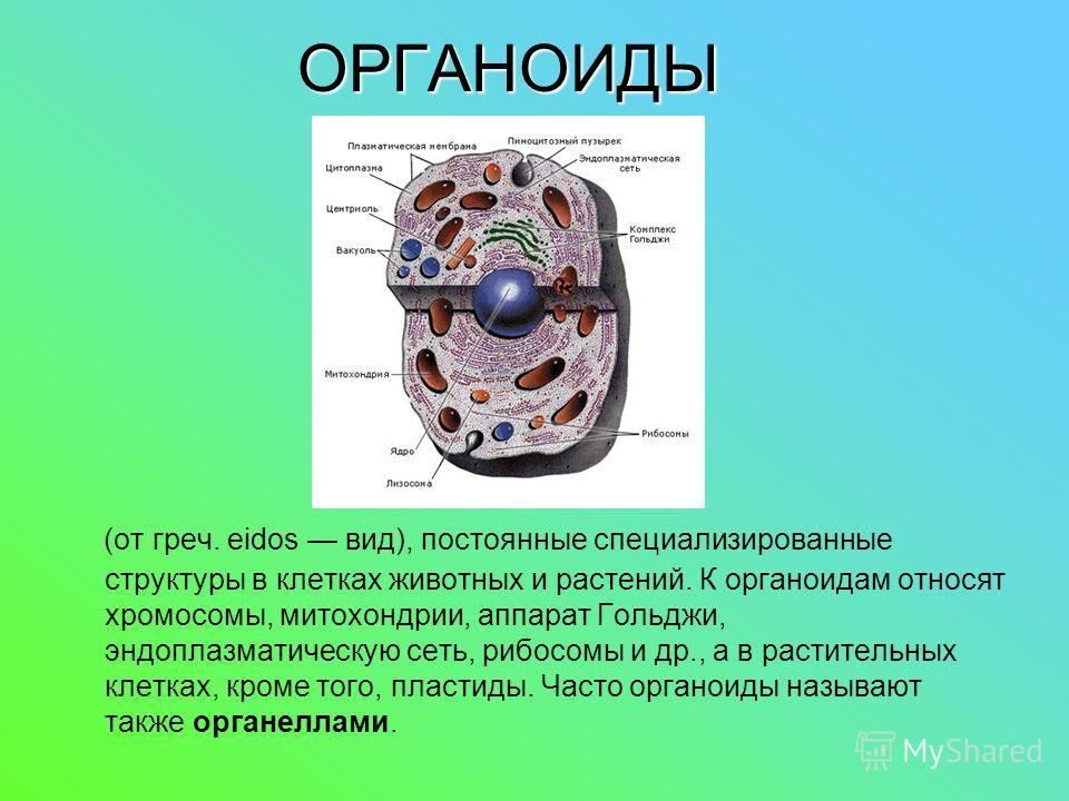 ОРГАНОИДЫ (от греч. eidos вид), постоянные специализированные структуры в клетках животных и растений. К органоидам относят хромосомы, митохондрии, аппарат Гольджи, эндоплазматическую сеть, рибосомы и др., а в растительных клетках, кроме того, пласти
