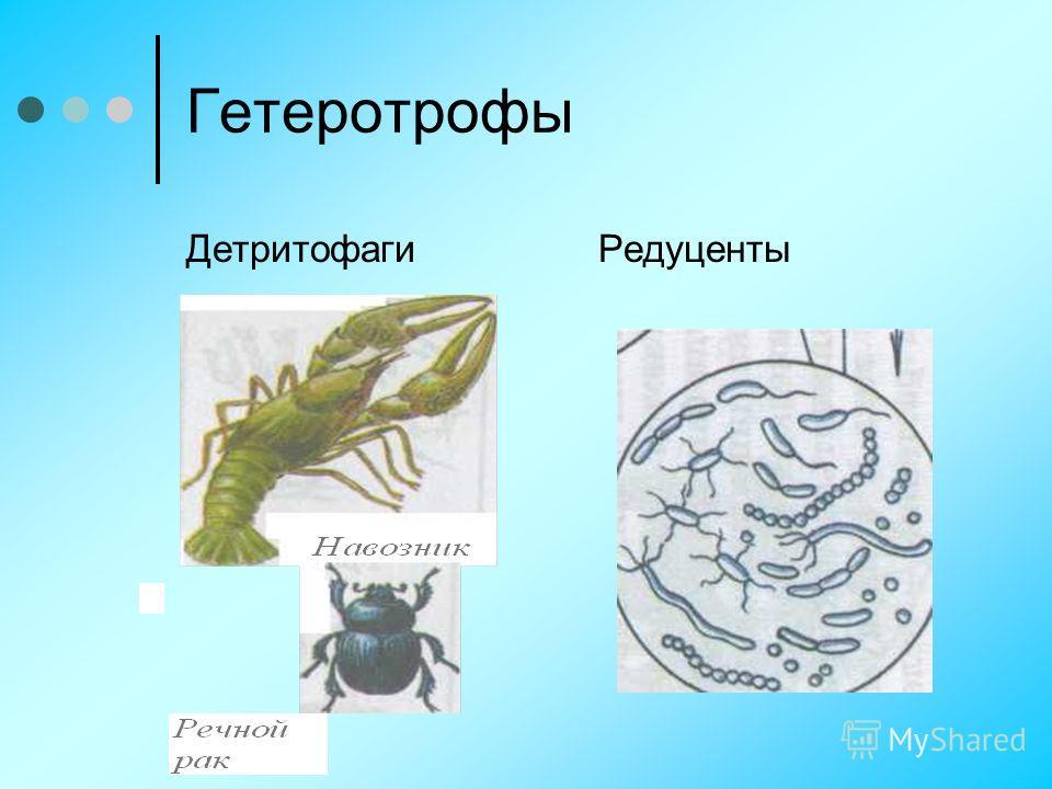 Гетеротрофы ДетритофагиРедуценты