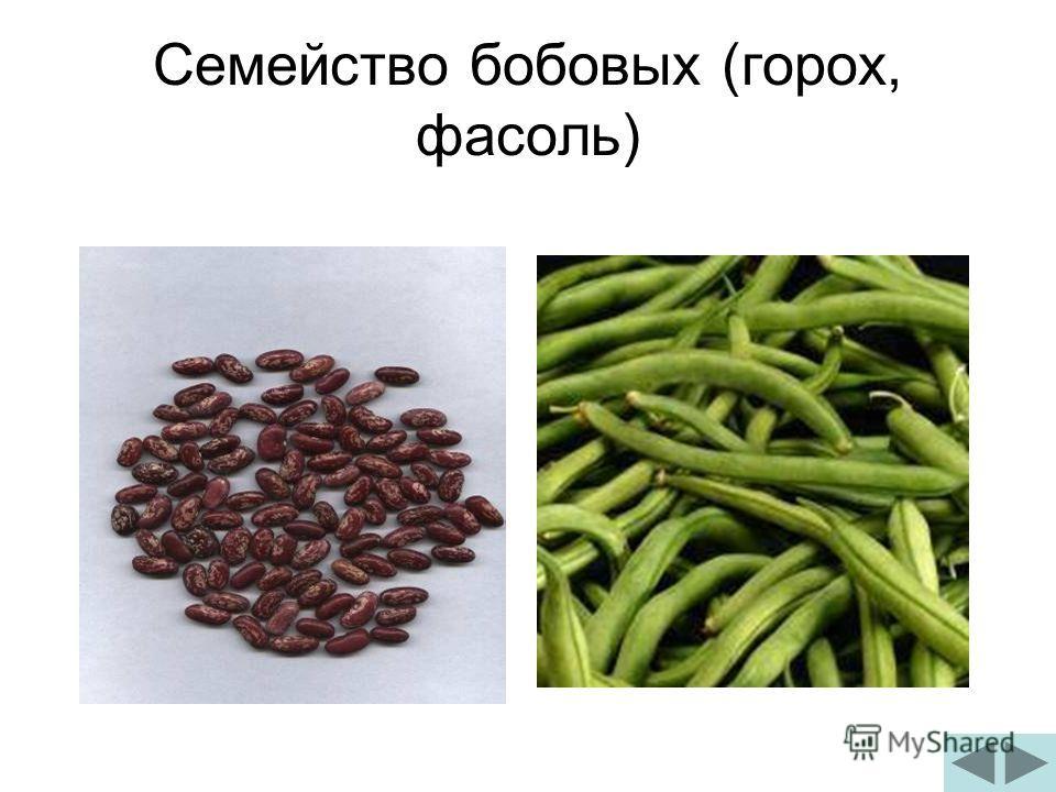 Семейство бобовых (горох, фасоль)