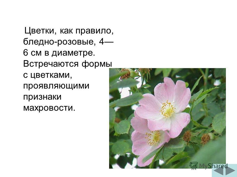 Цветки, как правило, бледно-розовые, 4 6 см в диаметре. Встречаются формы с цветками, проявляющими признаки махровости.