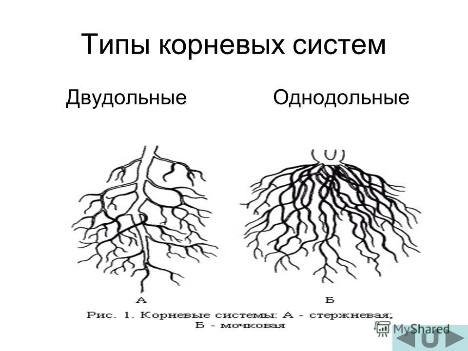 Типы корневых систем ДвудольныеОднодольные