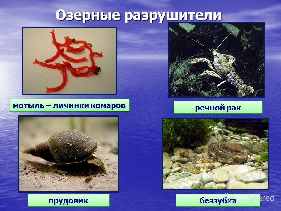 Озерные разрушители мотыль – личинки комаров речной рак прудовик беззубка