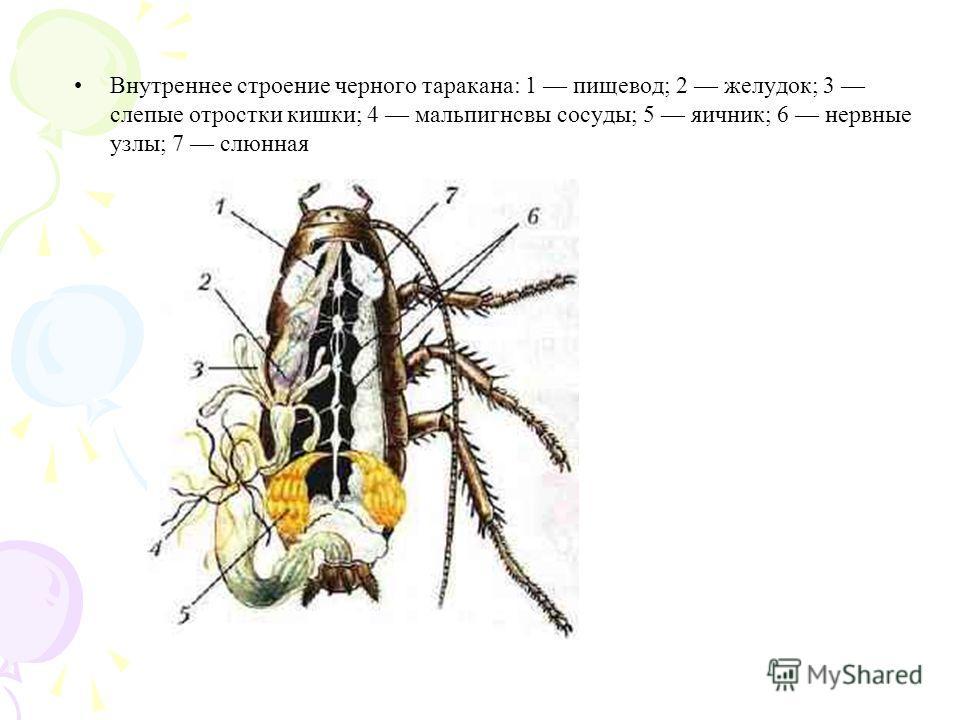 Внутреннее строение черного таракана: 1 пищевод; 2 желудок; 3 слепые отростки кишки; 4 мальпигнсвы сосуды; 5 яичник; 6 нервные узлы; 7 слюнная