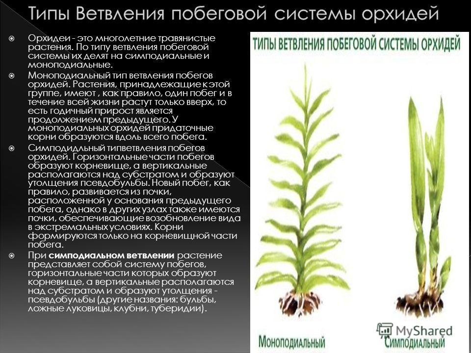 Орхидеи - это многолетние травянистые растения. По типу ветвления побеговой системы их делят на симподиальные и моноподиальные. Моноподиальный тип ветвления побегов орхидей. Растения, принадлежащие к этой группе, имеют, как правило, один побег и в те