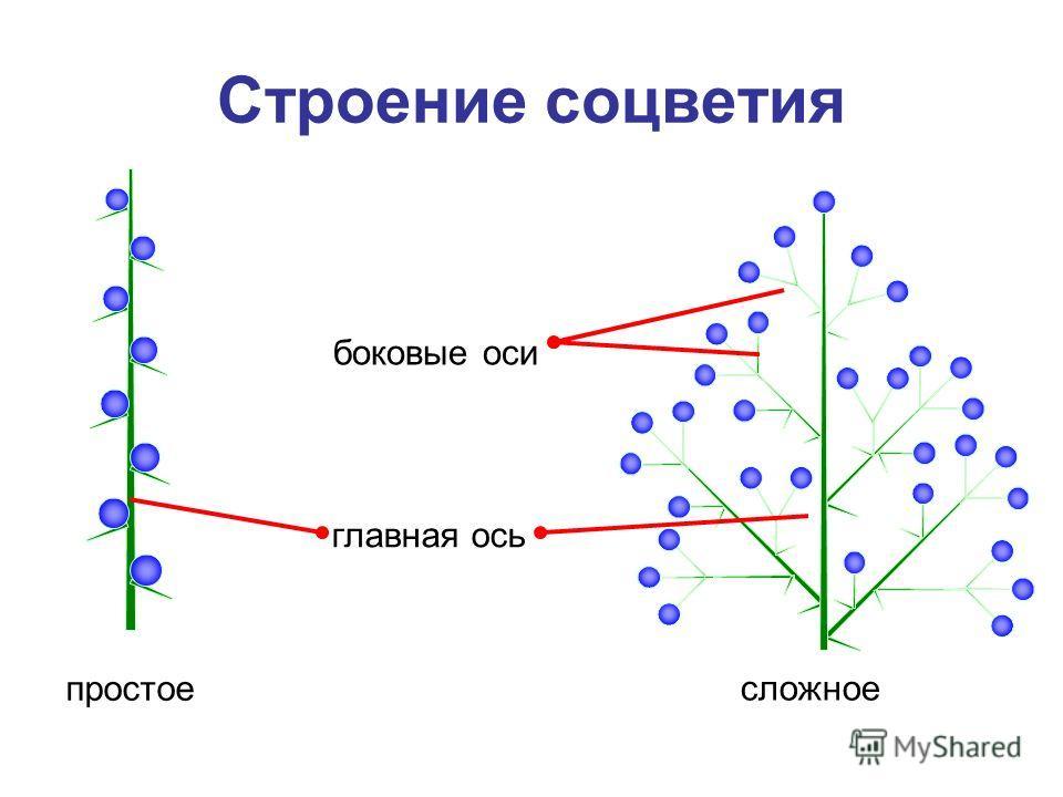Строение соцветия сложное простое боковые оси главная ось