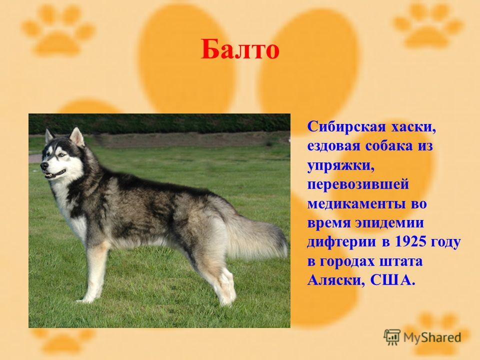 Балто Сибирская хаски, ездовая собака из упряжки, перевозившей медикаменты во время эпидемии дифтерии в 1925 году в городах штата Аляски, США.