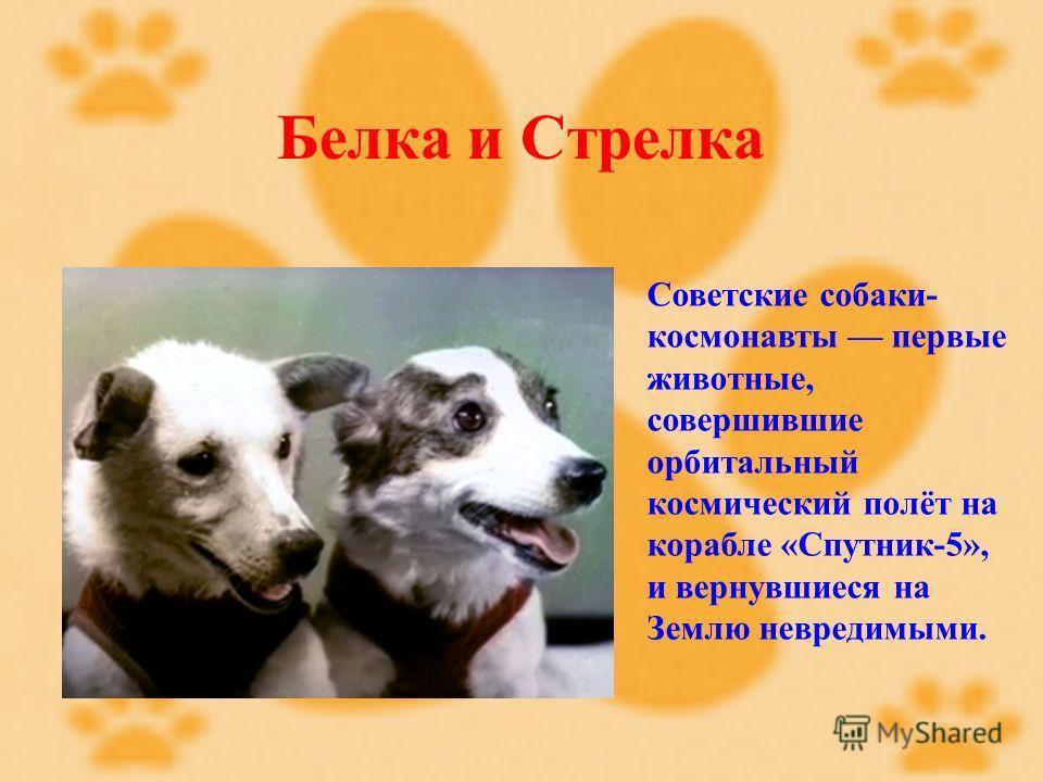 Белка и Стрелка Советские собаки- космонавты первые животные, совершившие орбитальный космический полёт на корабле «Спутник-5», и вернувшиеся на Землю невредимыми.