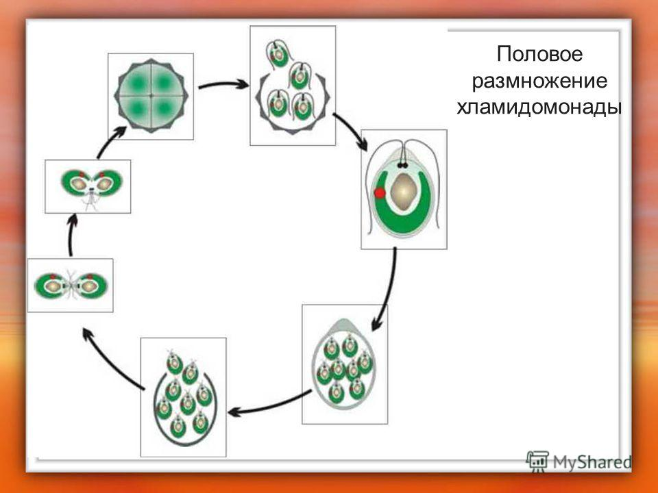 Половое размножение хламидомонады