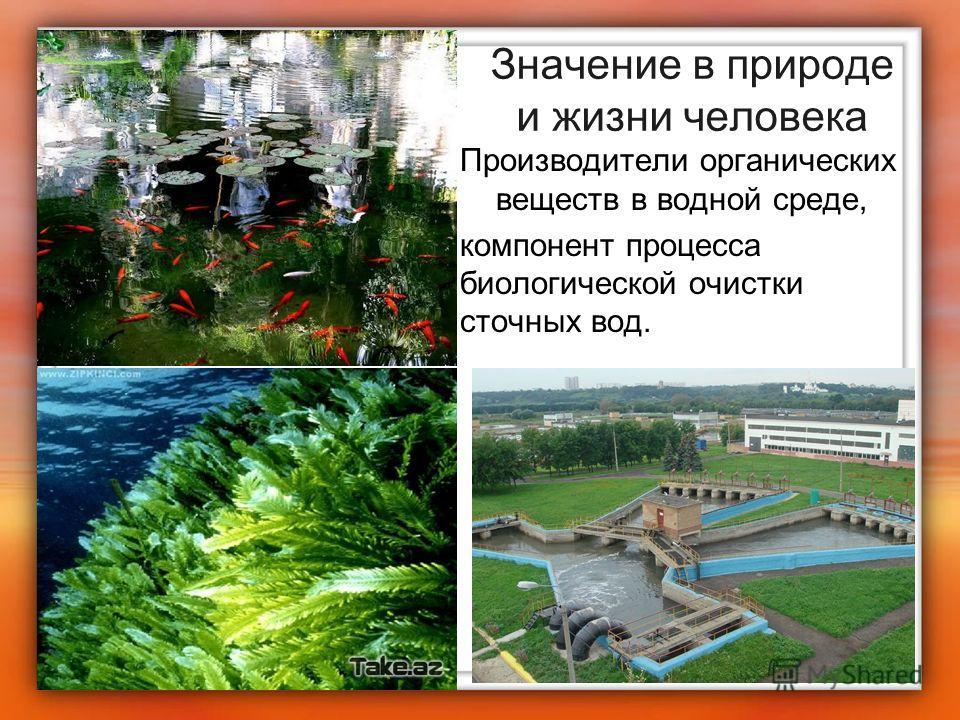Значение в природе и жизни человека Производители органических веществ в водной среде, компонент процесса биологической очистки сточных вод.