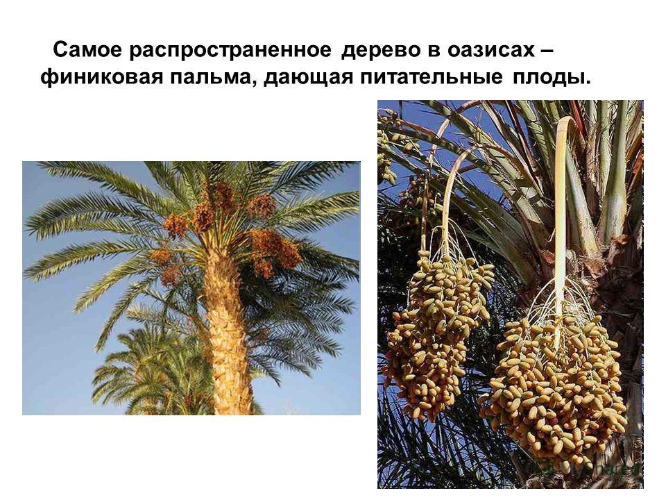 Самое распространенное дерево в оазисах – финиковая пальма, дающая питательные плоды.