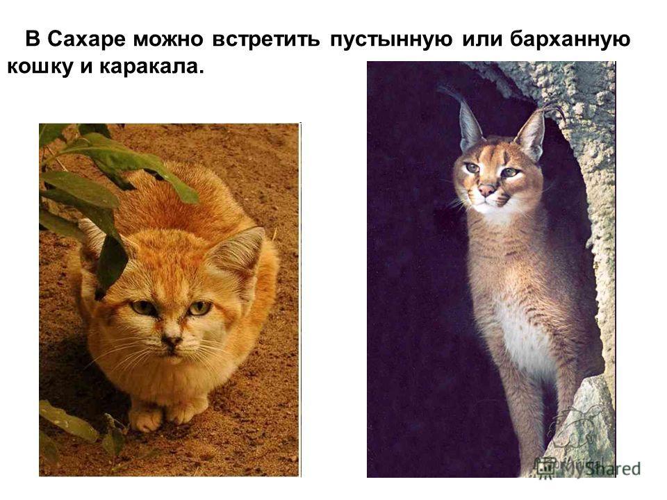 В Сахаре можно встретить пустынную или барханную кошку и каракала.