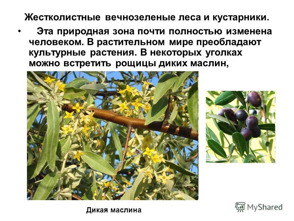 Жестколистные вечнозеленые леса и кустарники. Эта природная зона почти полностью изменена человеком. В растительном мире преобладают культурные растения. В некоторых уголках можно встретить рощицы диких маслин, Дикая маслина