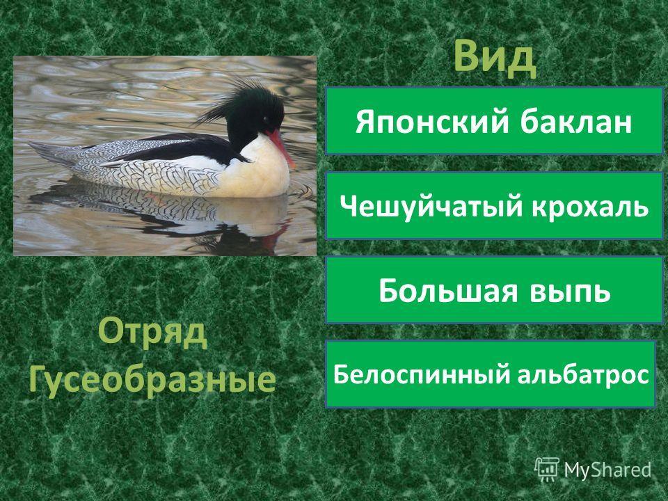 Отряд Гусеобразные Вид Японский баклан Чешуйчатый крохаль Большая выпь Белоспинный альбатрос