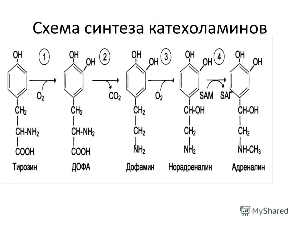 Схема синтеза катехоламинов