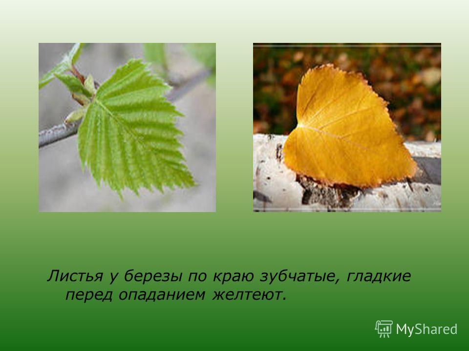 Листья у березы по краю зубчатые, гладкие перед опаданием желтеют.