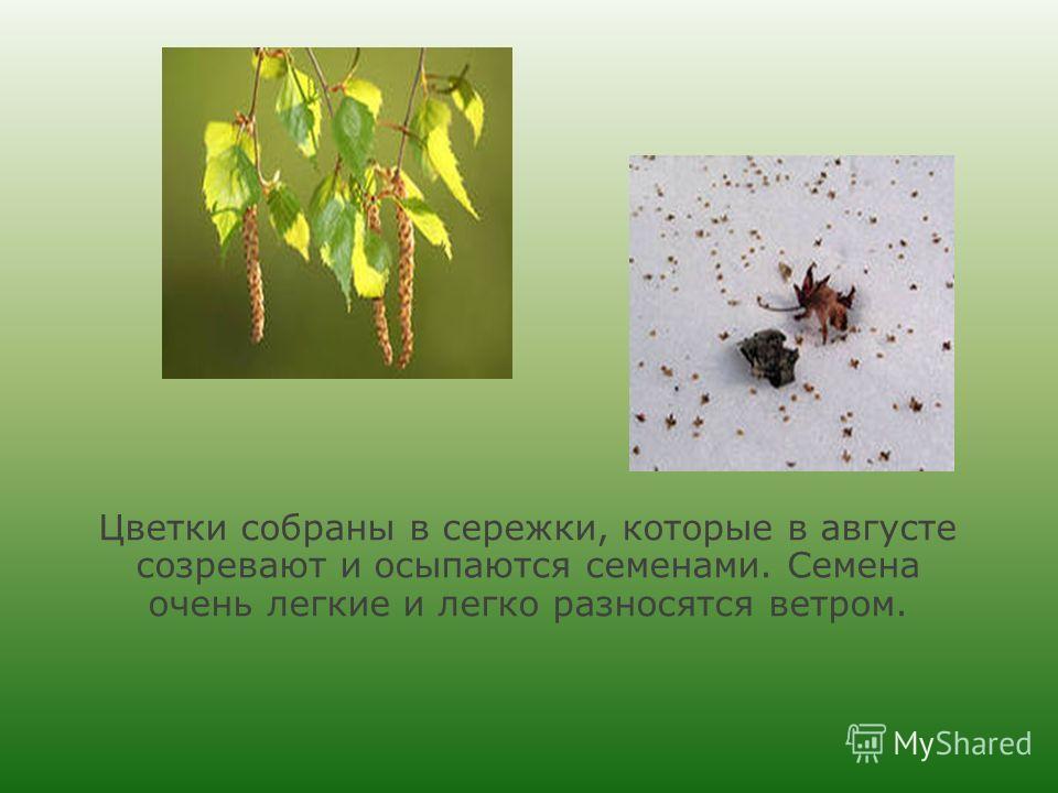 Цветки собраны в сережки, которые в августе созревают и осыпаются семенами. Семена очень легкие и легко разносятся ветром.