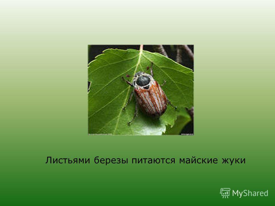 Листьями березы питаются майские жуки
