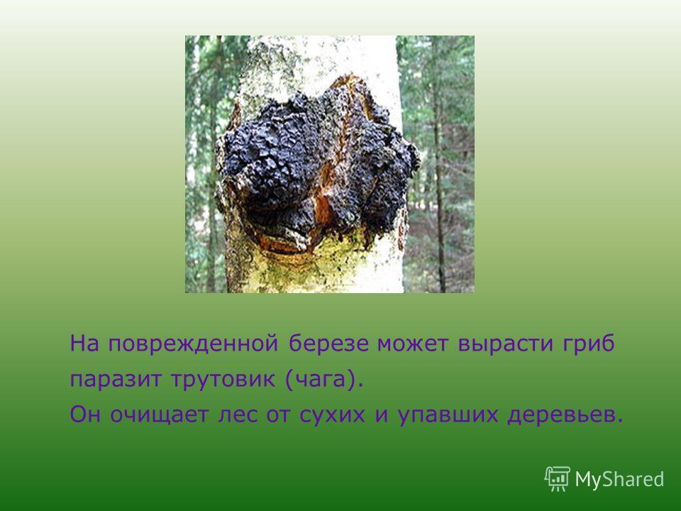 На поврежденной березе может вырасти гриб паразит трутовик (чага). Он очищает лес от сухих и упавших деревьев.