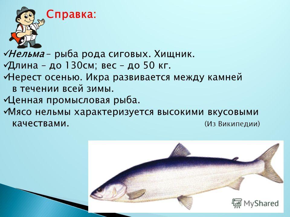 Справка: Нельма – рыба рода сиговых. Хищник. Длина – до 130см; вес – до 50 кг. Нерест осенью. Икра развивается между камней в течении всей зимы. Ценная промысловая рыба. Мясо нельмы характеризуется высокими вкусовыми качествами. (Из Википедии)